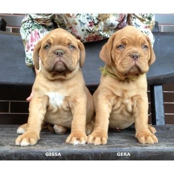 Dog de Bordeaux Dogue Mastif - szczenię ZKwP FCI