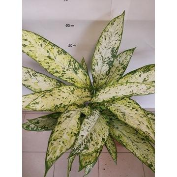 Difenbachia 60-70 cm