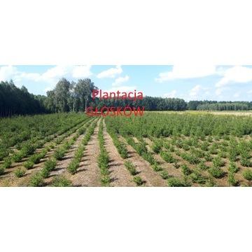 Świerk Pospolity Formowany - Choinka, Plantacja Gł