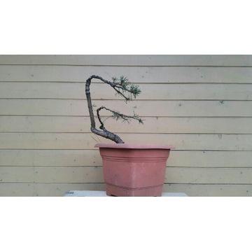 Sosna czarna pre-bonsai