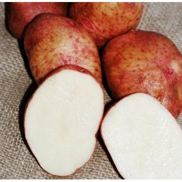 ziemniaki reichkanzler stara odmiana