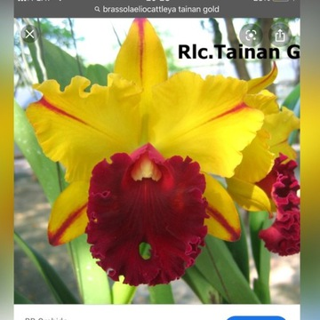 Brassolaeliocattleya Tainan Gold