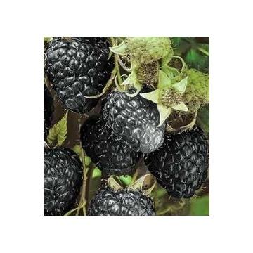 Malina czarna z gołym korzeniem