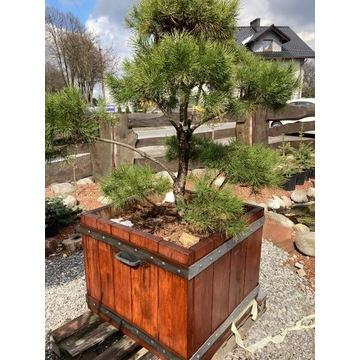 Bonsai Sosna w Donicy z Drzewa Akacji