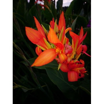 Kłącza kanny o koralowych kwiatach