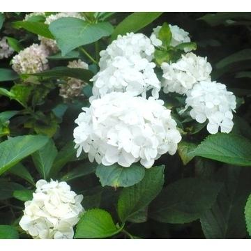 HORTENSJA ogrodowa 'First White' hydrangea XXL C2