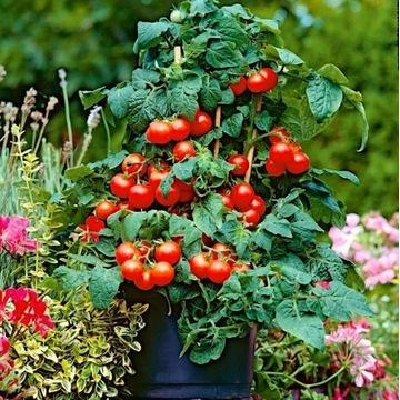 Sadzonki pomidorów koktajlowych charry do doniczek
