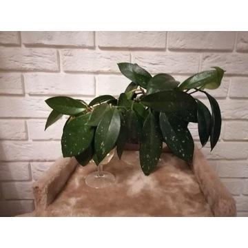 Hoya carnosa - sadzonki w trakcie ukorzeniania
