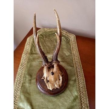 Poroże jelenia z czaszką bardzo stare
