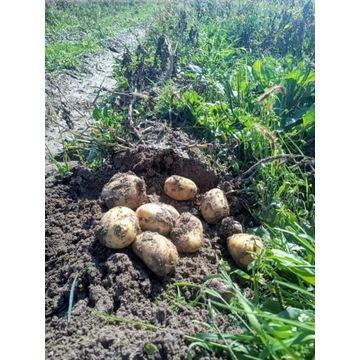 Sprzedam ziemniaki LORD EXELLENCY VINETA