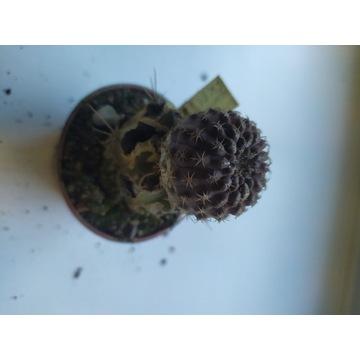 Kaktusy Eriosyce heinrichiana FK81