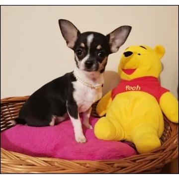 Chihuahua suczka,piesek