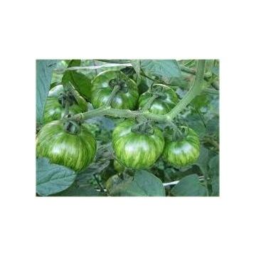 Pomidor ZIELONA ZEBRA - sadzonki doniczkowe