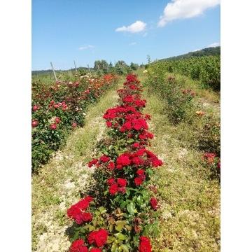 Bordowa róża rabatowa