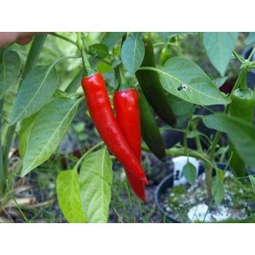 papryka chili rokita nasiona
