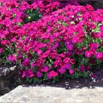 Żagwin ogrodowy     'cascade purple'      Sadzonki