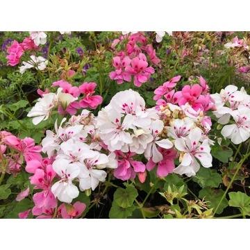 Pelargonia biała z różowym środki  duża sadzonka