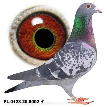 Samiec Nakrapiany 2020 lotowy gołąb gołębie poczto