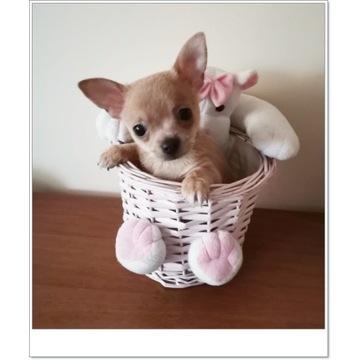 Chihuahua śliczny piesek