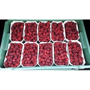 Sadzonka maliny jesiennej duże słodkie owoce