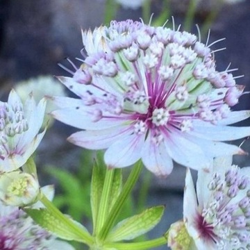 Jarzmianka Astrantia suningdale variegata sadzonki