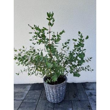 Eukaliptus c3 3litry donice zimujące Duże rośliny