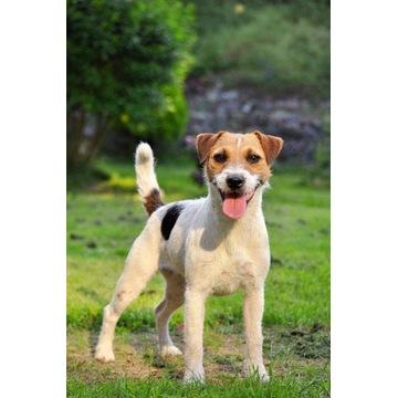Parson Russell Terrier, hodowla Mysia Zagłada FCI