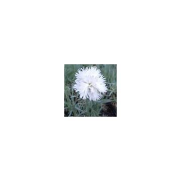Goździk biały zimuje w gruncie bylina wieloletnią