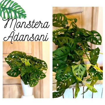 Monstera Adansoni monkey mask roślina