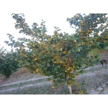 Leszczyna sadzonki kwalifikowana Mazowsze odmiany