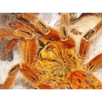 Pterinochilus murinus RCF L3