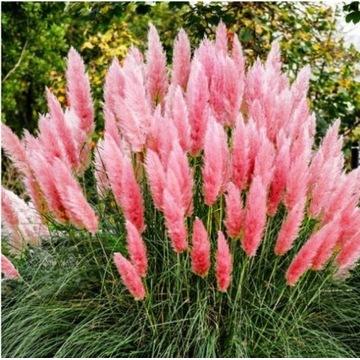 Trawa pampasowa różowa - zestaw 10 sadzonek