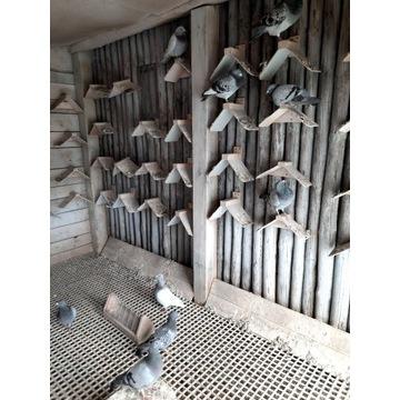 Gołębie pocztowe przelotowane na sprzedaż