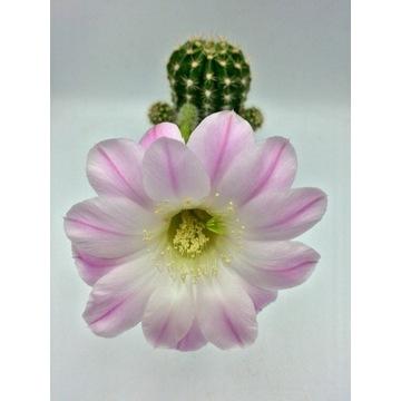 Kaktus echinopsis hybryd white purple