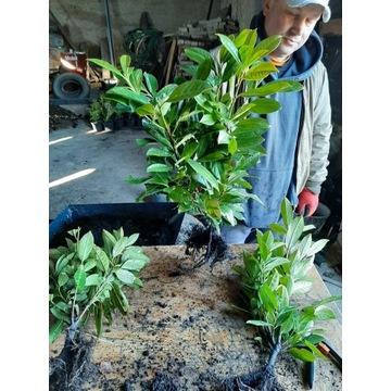 Laurowiśnia Rotundifolia 40-60cm