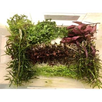zestaw roślin akwariowych z przycinki 8 gatunków