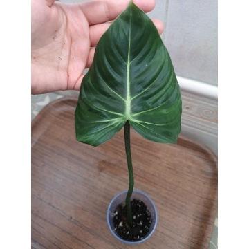 Philodendron Gloriosum Filodendron