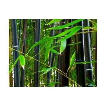 Bambus czarny nigra sadzonka Drzewiasty mrozoodpor