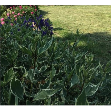 Dereń sibirica variegata - kpl.6 szt