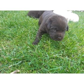 Labrador retriever szczenieta!!!