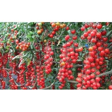 pomidor czereśnoiowy pokusa