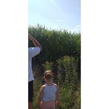 Miskant Olbrzymi Gigantheus tzw. Polski Bambus