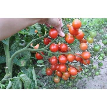 pomidor radana