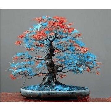 Bonsai Blue-Orange Nasiona  5 szt.