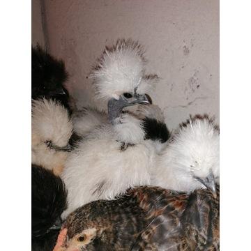 Kurczaki silka 11 tygodni