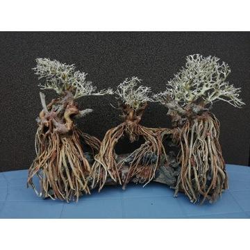 Korzeń do akwarium / scape bonsai driftwood