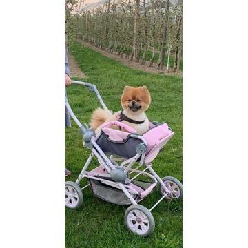 Piesek BOO - Pomeranian Szpic Miniaturowy Umowa !