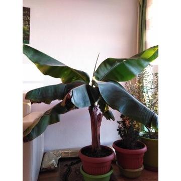 Drzewko bananowiec