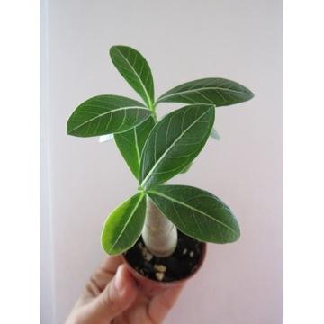 Adenium Arabicum sadzonka na bonsai+nawóz GRATIS