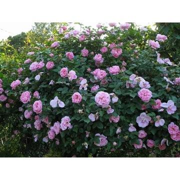 Róża jadalna, historyczna, krzew. PRODUCENT!!!